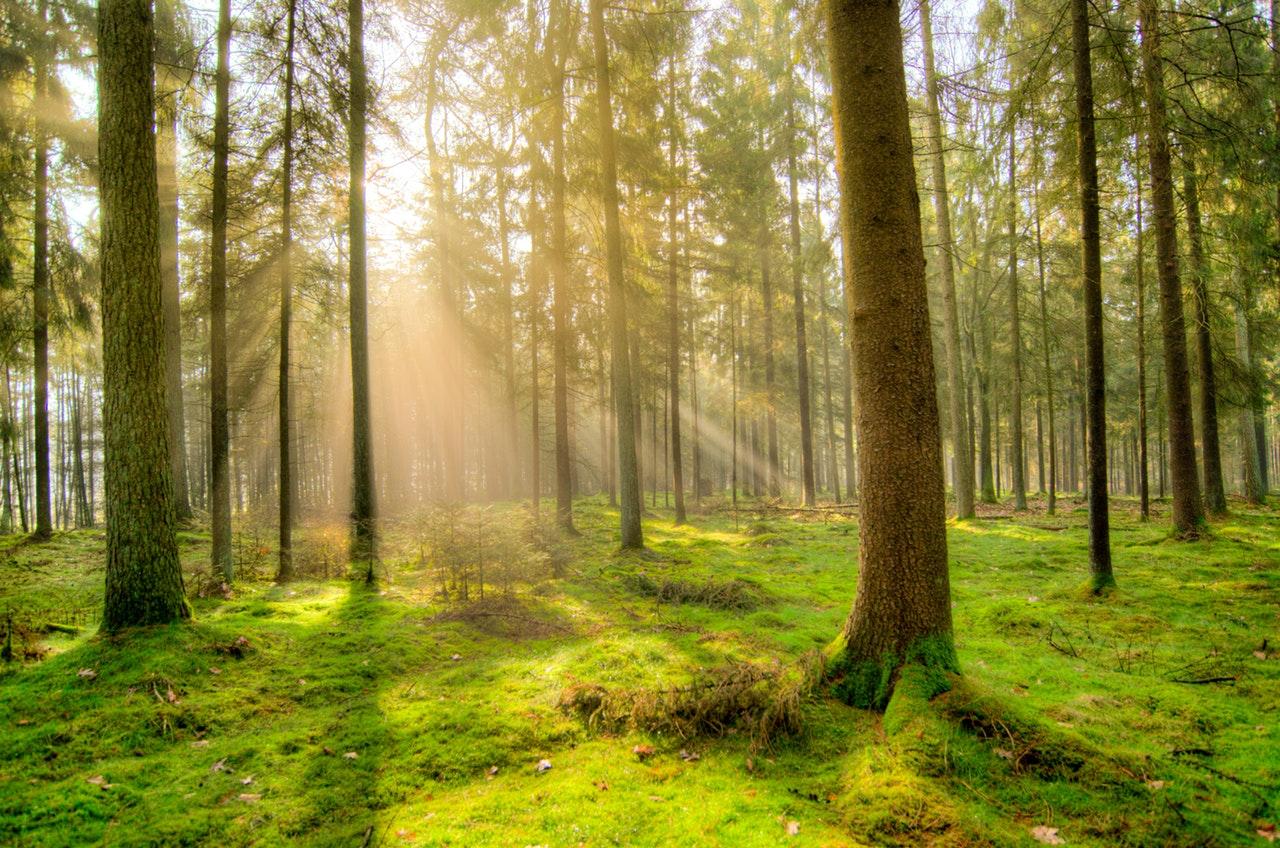 Skov med en masse mos og træer